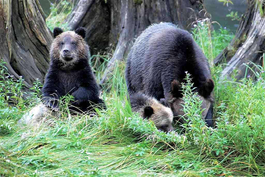 Great Bear Rainforest - Grizzly-Mutter und Anhang